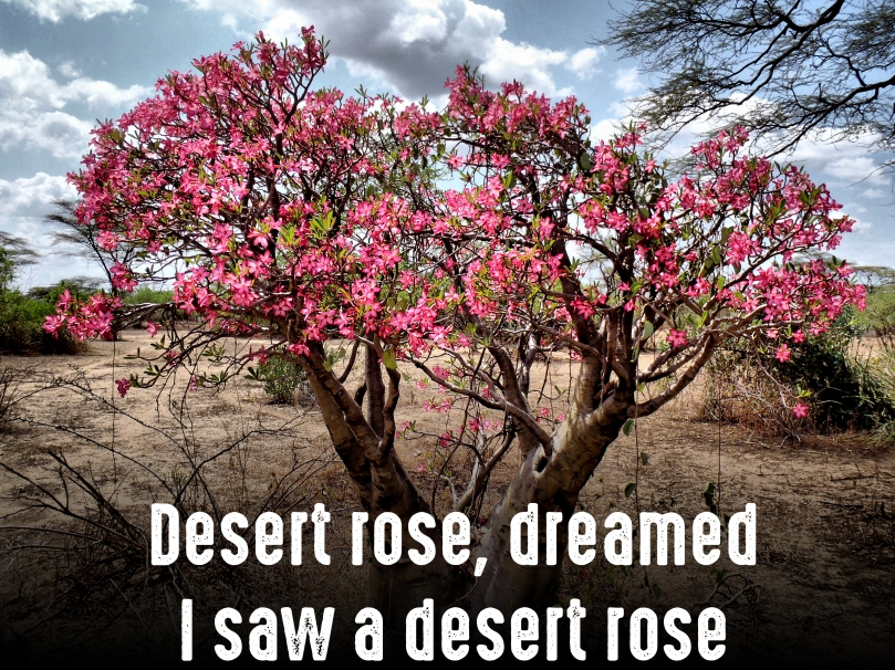 desert-rose-2-copy